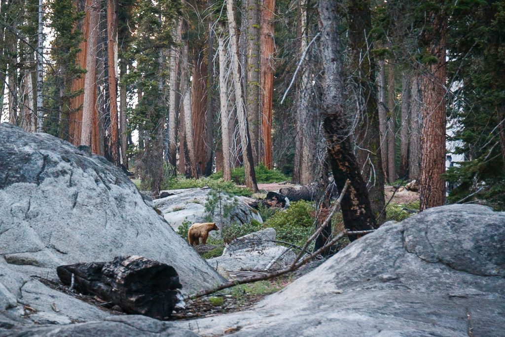 Moederbeer bij Crescent Meadows in Sequoia National Park