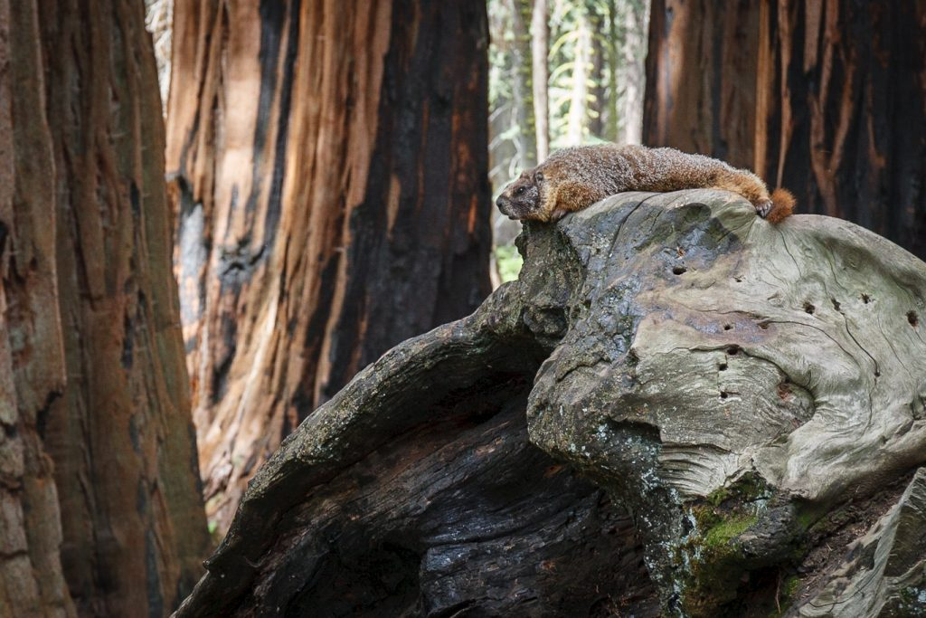 Marmot tussen de sequoia's in Sequoia National Park