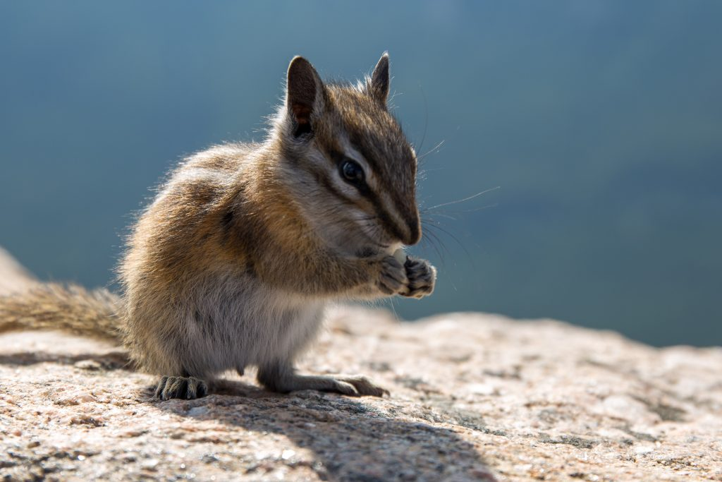 Chipmunk bij Rock Creek Vista op Beartooth Highway