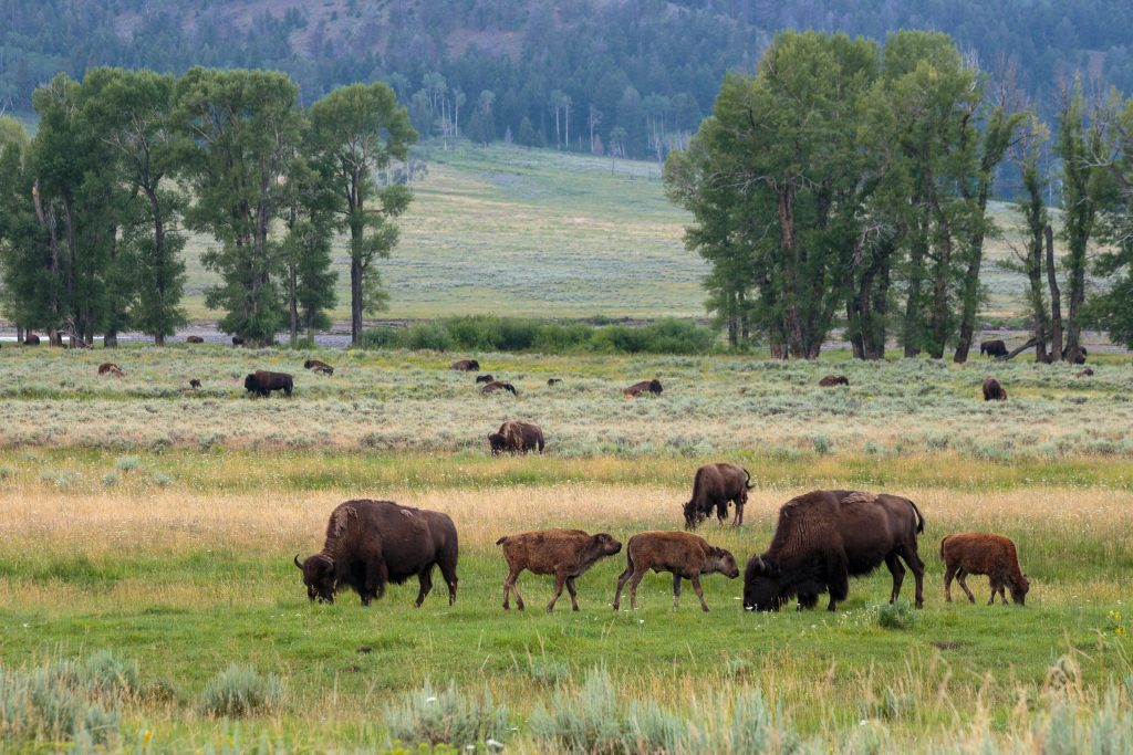 Kudde bizons in Lamar Valley, Yellowstone National Park